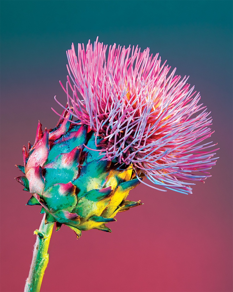 Colorful image of an artichoke flower photographed by Lindsey Rickert.
